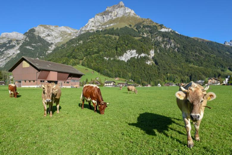 Cows in Engelberg Switzerland near Alpadia summer school